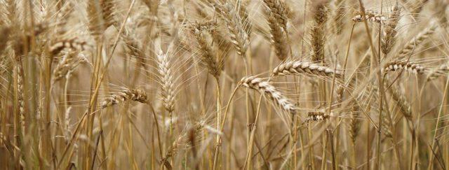 Les avantages des pailles en blé